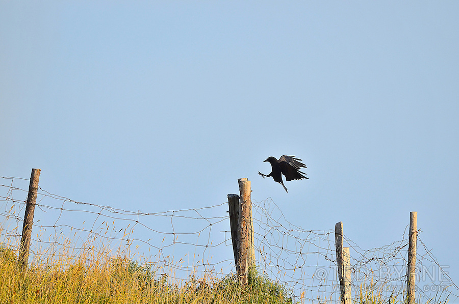 Silhouette of crow about to perch on an old wire fence