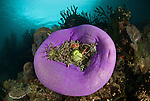 Pink anemonefish (Amphiprion perideraion) in its balled up home with diver in the background.