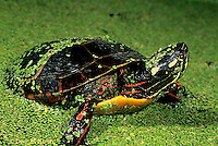 1R13-070z  Painted Turtle - young turtle in duckweed pond - Chrysemys picta
