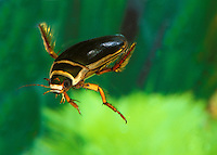 Great Diving Beetle (Dytiscus marginalis), Normandy, France