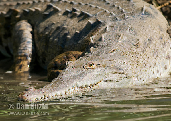 American crocodile, Crocodylus acutus, entering the water at the edge of the Tarcoles River, Costa Rica