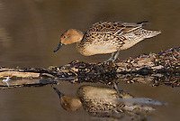 571350020 a wild female northern pintail  anas acuta in a shallow pond at colusa national wildlife refuge califonia