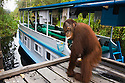 Sub adult orangutan male on board walk near house boat, (Pongo pygmaeus), endangered species due to loss of habitat, spread of oil palm plantations, Tanjung Puting National Park, Borneo, East Kalimantan,