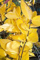 Calycanthus floridus 'Michael Lindsay' fall foliage