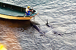"A fisherman tows away pilot whales, which are members of the dolphin family, that have been tied by rope to the front  of his boat at ""killer cove"" in Taiji, Japan on 10 September  2009. Sept. 10 marked the first dolphin cull of the season, which was conducted in a cove shielded by steep cliffs covered by dense undergrowth, the upper reaches of which are patrolled by local fisheries officials charged with detecting and distracting journalists and marine conservation activists alike."