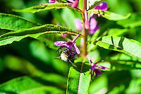Norway, Stavanger. Bumblebee on flowers.