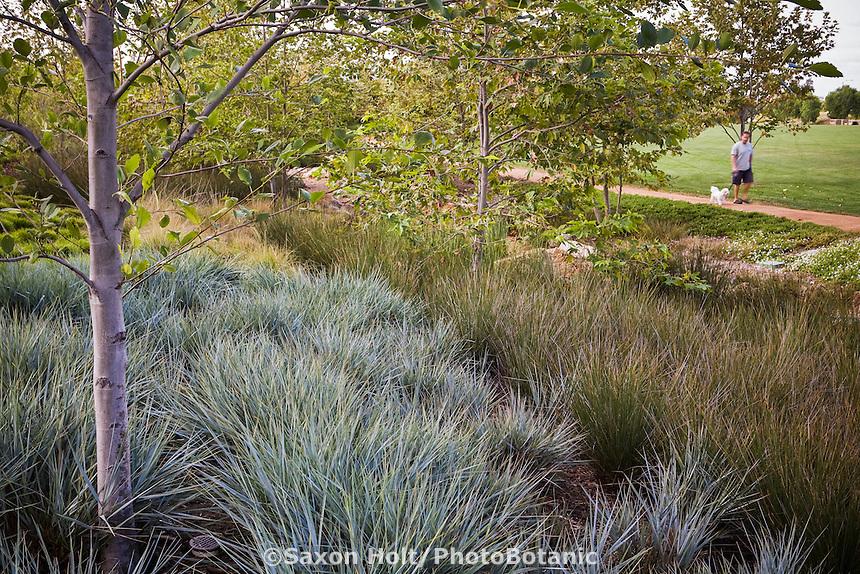 Leymus condensatus 'Canyon Prince' - Giant Wild Rye with rush, Juncus polyanthemos in urban park groundcover landscape design meadow garden, Jeffrey Open Space, Irvine California