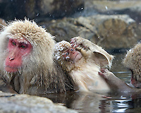Group of grooming snow monkeys (Macaca fuscata) in thermal springs, Honshu, Japan.