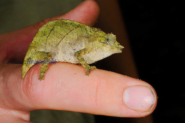 Boulenger's Pygmy Chameleon (Rhampholeon boulengeri) on a finger, Nyungwe Forest National Park, Rwanda.