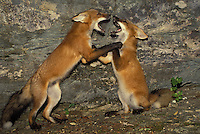 Red Fox siblings (vulpes fulva), play fighting and wrestling near rock face, midewest USA