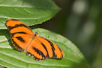 La Guacima de Alajuela, Costa Rica; a Banded Orange Heliconian (Dryadula phaetusa) butterfly sits wings spread on a leaf , Copyright © Matthew Meier, matthewmeierphoto.com All Rights Reserved