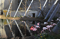 Greater flamingoes (Phoenicopterus ruber roseus), in the Nouvelle Grande Voliere or new aviary in the Zone Sahel-Soudan of the new Parc Zoologique de Paris or Zoo de Vincennes, (Zoological Gardens of Paris or Vincennes Zoo), which reopened April 2014, part of the Museum National d'Histoire Naturelle (National Museum of Natural History), 12th arrondissement, Paris, France. Picture by Manuel Cohen