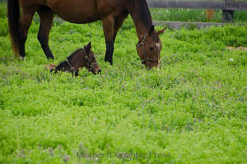 Foal lying in field near mare Lexington KY