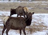 Elk grazing in Rocky Mountain National Park, Colorado