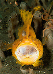 Frogfish: Antennarius sp., yellow / orange variety with large lure, wide open mouth with esophagus visible, Lembeh Strait