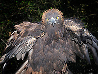 Golden Eagle (Aquila chrysaetos), captive.
