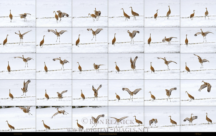 Sandhill Cranes Mating Dance Yellowstone National Park Composite Image