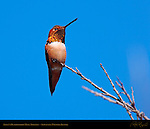Allen's Hummingbird Male Trilling, Sepulveda Wildlife Refuge, Southern California