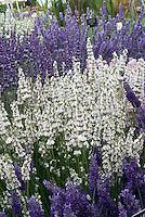 Lavandula x chaytoriae 'Sawyer's' AGM, Lavandula x intermedia 'Edelweiss, L. x intermedia 'Gros Bleu'  lavenders (English, hybrid)
