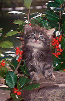 Gray long-haired tabby kitten looking up from log near holly bushes