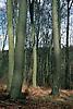 autumnal forest of beeches <br /> <br /> hayedo en oto&ntilde;o<br /> <br /> Buchenwald im Herbst<br /> <br /> Original: 35 mm slide transparancy