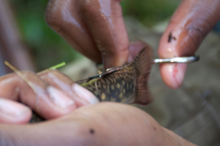 A researcher clips the adipose fin of coaster brook trout in the Salmon Trout River near Big Bay Michigan.