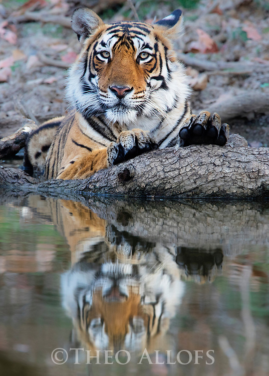 India, Rajasthan, Ranthambhore National Park, female tiger lying at water's edge, reflected in water, front view