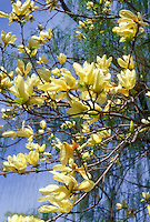 Magnolia 'Elizabeth', yellow flowered spring blooming shrub tree, against sunny blue sky