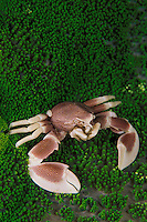 A Porcelain crab, Neopetrolisthes maculatus, perches upon its sea anemone host.  Ko Tachai, Thailand, Andaman Sea, Indian Ocean