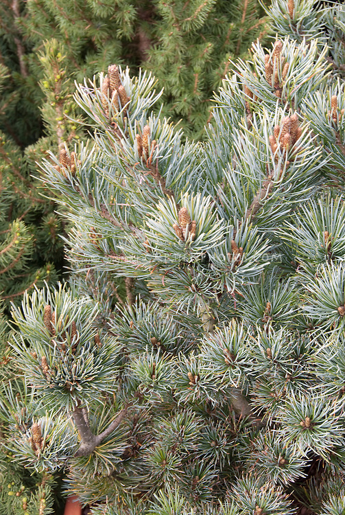 Pinus parviflora Negishi Japanese White Pine closeup of branches and needles