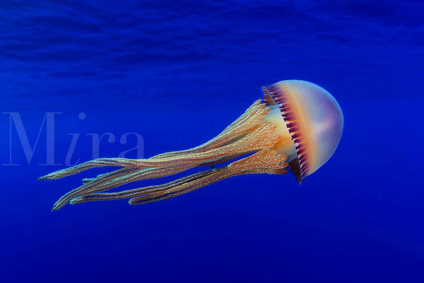 Rhizostomeae Thysanostomatidae Thysanostoma flagellatum loriferum seawater sea stinging jellyfish jelly fish cnidaria cnidarians cnidarian water transparent sting saltwater pacific ocean tentacles jellyfish underwater marine
