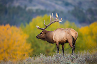 Bull elk during the rut in Montana