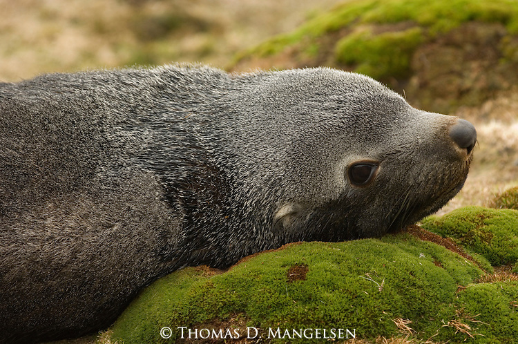 Portrait of an Antarctic fur seal pup laying on moss covered rocks in Stromness, South Georgia.