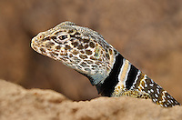 414390020 a wild great basin or desert collared lizard crotaphytus insularis bicinctores perches on a rock along chalk cliffs road near bishop in northern inyo county california united states