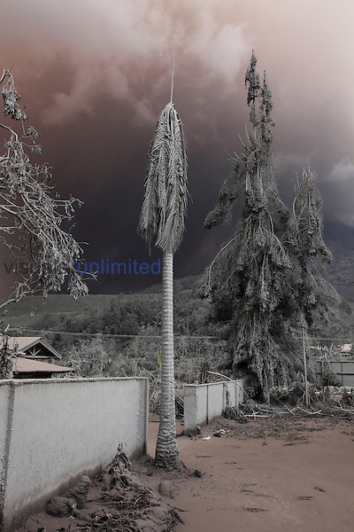 Palm tree with snapped branches due to heavy ash fall from eruption of Sinabung Volcano, Sumatra, Indonesia