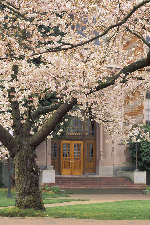 Smith Hall doorway framed by blossoming cherry trees, University of Washington, Seattle, Washington