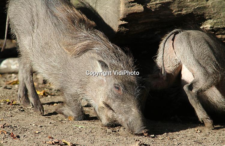 Foto: VidiPhoto..RHENEN - Wrattenzwijnen blijken uitermate geschikt om truffels op te sporen. Dat blijkt uit een donderdag gehouden experiment met deze dieren in Ouwehands Dierenpark in Rhenen. In plaats van echte truffels, verstopte de dierentuin bospaddenstoelen overgoten met truffelolie in het buitenverblijf van de wrattenzwijnen. De Afrikaanse varkens bleken prima in staat om de lekkernij te vinden. In de Perigord in Frankrijk worden de beroemde truffels vaak gezocht met speciaal daarvoor getrainde varkens of honden.