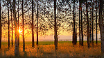 Summer sunrise through a grove of trees on the Rathdrum Prairie, Idaho.