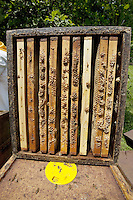 Switzerland. Canton Ticino. Montagnola. Hive and honeycombs from Alberto Bianchi, a beekeeper and an organic farmer (with the label Bio Suisse). The honeycombs and the wooden box will be brought back to the place where the beekeper produces honey. Beekeeping (or apiculture) is the maintenance of honey bee colonies, commonly in hives, by humans. A beekeeper (or apiarist) keeps bees in order to collect honey and other products of the hive (including beeswax, propolis, pollen, and royal jelly). The meadow  is surronded by the woods, Robinia pseudoacacia, commonly known as the Black Locust, a tree in the subfamily Faboideae of the pea family Fabaceae. A less frequently used common name is False Acacia, which is a literal translation of the specific epithet. 31.05.12 &copy; 2012 Didier Ruef