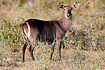 Africa, Kenya, Meru. Female Ellipsen Waterbuck of East Africa.