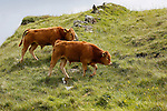 Cows are seen from the trail leading up to the Carrick-a-Rede Rope Bridge in Ballintoy, County Antrim, Northern Ireland on Saturday, June 22nd 2013. (Photo by Brian Garfinkel)