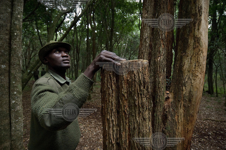 Forest rangers showing where people have cut trees. Ngong forest is a fenced and  protected sanctuary. It is a nature reserve that has an abundance of animals and wildlife and acts as a physical division between the rich and poor areas of Nairobi. Illegal deforestation is a serious problem as the forest is full of rare, hardwood species that are sold to souvenir carvers in Nairobi who make wooden animals in all sizes for tourists in Kenya.