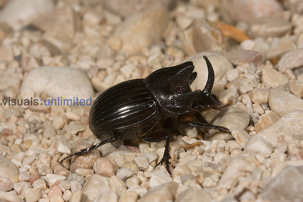 Dung Beetle (Copris arizonensis), Texas, USA