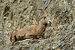 Female mountain goat in Jasper National Park resting during the day