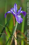 Douglas iris, Iris douglasiana, Tilden Regional Park, California