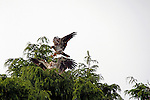 North America, Canada, British Columbia, Vancouver Island. Juvenile Bald Eagles working their wings.
