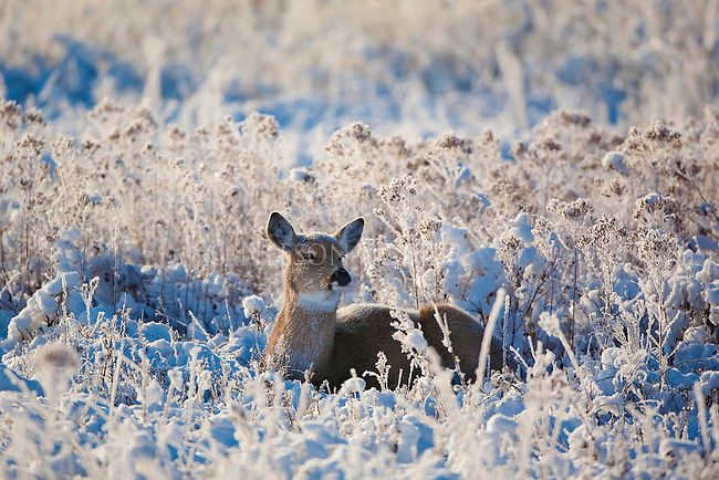 Whitetail Doe bedded in frost covered grass
