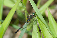 Racket-tailed Emerald (Dorocordulia libera) - Dragonfly - Female, Ward Pound Ridge Reservation, Cross River, Westchester County, New York