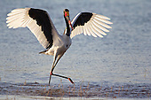 Saddle-billed Stork, stepping after a meal as fish scatter under the surface. They are efficient fishers, and follow shoals and use their wings to gather the fish in addition to adding a fine tuning to balance. A striking large bird.