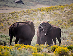 Two bison bulls stand ready to fight in Yellowstone National Park.